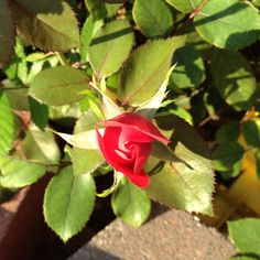 Beautiful rose blooming