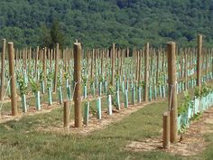 Planning to start a vineyard in New Jersey? Key questions you need to answer. Grape Vine Trellis, Grace Farms, Grape Plant, Growing Grapes, Barn Wedding Venue, Fruit Garden, Wine Making, Wines, Vineyard