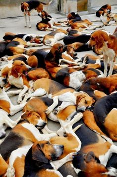Pack of tired dogs?: Hunting dogs in the Chateau de Cheverny - France #Beagle