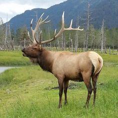 Wildlife center portage, Alaska Coyote Hunting, Pheasant Hunting, Archery Hunting, Baby Wolves, Red Wolves, Elk Pictures, Elk Silhouette, North American Animals, Big Deer