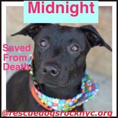 Meet+Midnight,+a+Petfinder+adoptable+Pit+Bull+Terrier+Dog+ +New+York,+NY+ +Petfinder.com+is+the+world's+largest+database+of+adoptable+pets+and+pet+care+information....