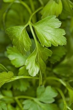 Parsley is a hardy herb grown for its flavor, which is added to many dishes, as well as its use as a decorative garnish. Find tips on how to grow parsley… Herb Garden Pallet, Vegetable Garden, Herbs Garden, Parsley Plant, Mint Plants, Herb Plants, Beautiful Flowers Images, Types Of Herbs, Herbs For Health