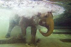 swimming elephant.