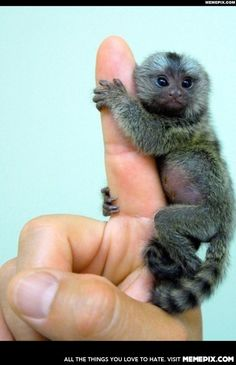 The smallest monkey in the world, the Pygmy Marmoset.