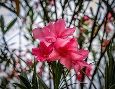 Pink flower by Julie Lafonte