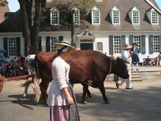 Oxen! Wow they're big. Williamsburg, Virginia.