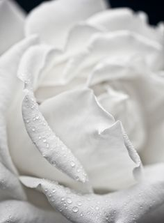 White Rose. My favorite flower ever <3