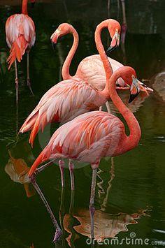 Image of flamingo, colorful - 7014766 American Flamingo. At the Honolulu Zoo we have two species of Flamingoes: the Am , Flamingo Painting, Flamingo Art, Pink Flamingos, White Flamingo, Beautiful Birds, Animals Beautiful, Cute Animals, Eagle Animals, Exotic Birds