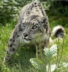Snow leopard Uzbekistan | Just Another Static Heart: Animal Fun Fact: The Snow Leopard