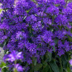 Peurankello Freya - Viherpeukalot Purple Flowers, Flower Farm, Plants, Cottage Garden, Outdoor Gardens, Perennials, Bellflower, Flowers, Blue Flowers