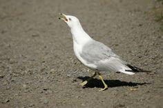 http://faaxaal.forumactif.com/t1701-photos-d-oiseaux-goeland-a-bec-cercle-larus-delawarensis-ring-billed-gull