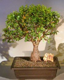 """This succulent bonsai, also known as the """"Elephant Bush"""", is native to South Africa and has pale green leaves that are almost round and about one-third the size of the common Jade plant. The fleshy trunk, branches, and leaves are used to store water. An excellent bonsai tree for indoors."""