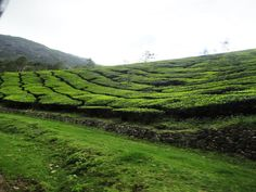 A Beautiful Tea Garden, A Beautiful Munnar
