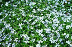ground cover - Isotoma fluviatilis Blue Star Creeper