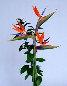 """Bird of Paradise"" - Strelitzia reginae"