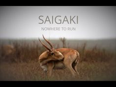 Amazing Saiga antelopes are facing extinction today. Help us bring this important film to the wo Video Film, My Animal, Beautiful Creatures, Fundraising, Documentaries, Wildlife, Bring It On, Community, Videos