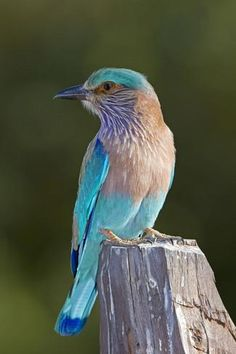 http://imgc.allpostersimages.com/images/P-473-488-90/72/7242/KIPN100Z/posters/tony-camacho-indian-roller.jpg