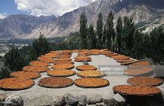 Drying apricots, Hunza valley, Pakistan.