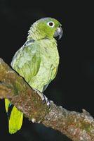 Lora real, Amazona farinosa, común en toda la Amazonia colombiana.