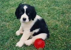 I want one!  English Springer Spaniel puppy. #puppy #English_Springer_Spaniel
