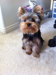 Meet Pebbles <3 our baby & official Threadsence mascot! #threadsence #pebbles #yorkie