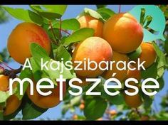 Kajszbarack metszése Cikk - OKOS KERTÉSZ BARÁTI KÖR Vegetable Garden, Good To Know, Mango, Backyard, Fruit, Vegetables, Plants, Gardening, Decor