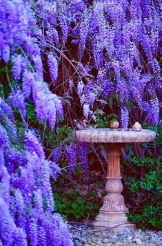 Backyard wisteria