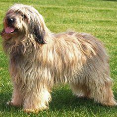 Cute Catalan Sheepdog