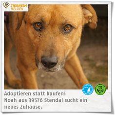 """Noah kam vernarbt ins Tierheim Stendal und es hat gedauert, bis er überhaupt zur Vermittlung frei gegeben wurde.  http://www.tierheimhelden.de/hund/tierheim-stendal/mischling/noah/8123-0/  Noah wird auf """"Baujahr"""" 2007/09 geschätzt. Dank sehr engagierter Pfleger ist Noah deutlich offener geworfen und traut sich ohne Hemmungen in einer großen Hundegruppe spazieren zu gehen. Er lässt sich problemlos das Geschirr überstreifen und spielt sehr gerne mit dem Ball. Katzen und Kleinkinder sollten im…"""