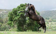 Когда ты красавчик лошадь, лузитано