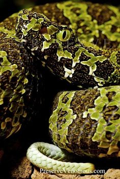 Reptiles Names, Les Reptiles, Reptiles And Amphibians, Animals Of The World, Animals And Pets, Funny Animals, Terrarium Reptile, Chameleon Lizard, Poisonous Snakes