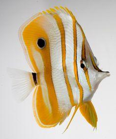 Pesce pinzetta, tutti i consigli per prendersene cura #acquario #giallo #Yellow #fish #fishtank