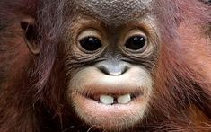 Khansa, an eight month old critically endangered Bornean orangutanat the Singapore Zoo