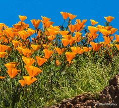 c2ffcab9208 Desert Wildflower Reports for Southern California by DesertUSA