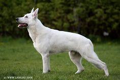 White Swiss Shepherd.