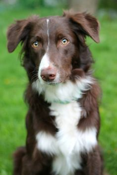 Border collie, Red & White. I want a border collie!!!!