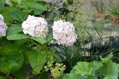 Pflanzen auf kleiner Dachterrasse Berlin, Hortensie, Waldschmiele und Frauenmantel auf  Hydrangea, deschampsia, alchemilla