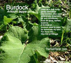 Burdock - Articum lappa For more info -http://www.herbalbear.com/herbinfo/burdock.html