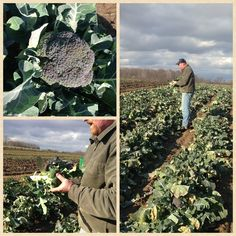 December fresh picked Broccoli! #DufferinGrove - Today!! #SosnickiHarvest