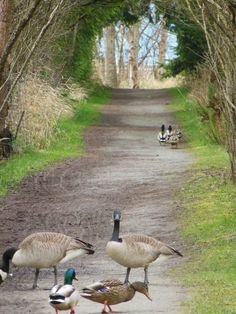 Geese and ducks on pathway at Reifel Bird Sanctuary in Ladner, B.C.