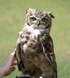 Spotted Eagle Owl...
