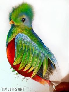 Progress 1 picture of my Resplendent Quetzal. Drawn with Tombow Irogiten Pencils.