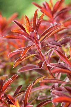 Многие разноцветные молочай 'Костер' • Euphorbia polychroma 'Костер' • Многоцветный молочай 'Костер' • молочай многоцветный 'Костер' • Растения и цветы • 99Roots.com