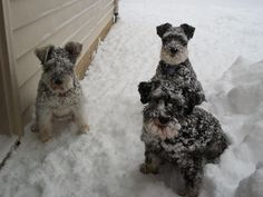 Great pic of snowy schnauzers from a breeder who looks great!!!
