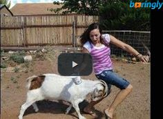 A crazy goat runs up and attacks people on the streets. It's really funny #funnyvideos #fun