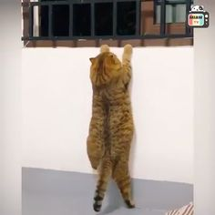 Cats acting funny or weird. - xXx_KayOnce_xXx - Cats acting funny or weird. Meu Deus que coisa fofa - Animal Jokes, Funny Animal Memes, Funny Cat Videos, Funny Animal Pictures, Cat Memes, Best Cat Videos, Funny Videos Of Animals, Crazy Pictures, Cute Little Animals