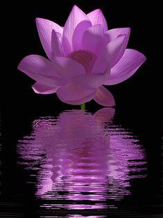 purple_Lotus_Flower+-+Lotus+Flower+animation+-+Animated+/+animation+/++-+IMG_0515
