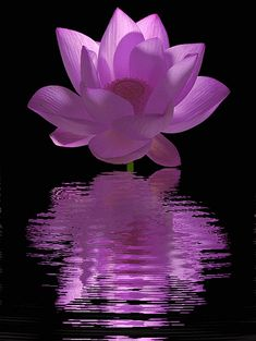 purple_Lotus_Flower - Lotus Flower animation - Animated / animation /  - IMG_0515 by Bahman Farzad, via Flickr