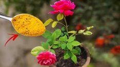 Pěstujete růže? Toto nasypte kolem záhonu a zapamatujte si tuto radu na každou sezónu: To je k nezaplaceni pro každého pěstitele – Domaci Tipy Plants, Flora, Plant, Planting