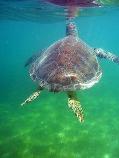 Akumal beach Swimming with the turtles was a fantastic experience. Akumal Bay, Akumal Mexico, I Love Swimming, Water Animals, Oceans Of The World, Cute Little Animals, Sea World, Riviera Maya, Nature Photos